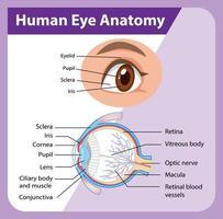 diagrama da anatomia do olho humano com etiqueta vetor