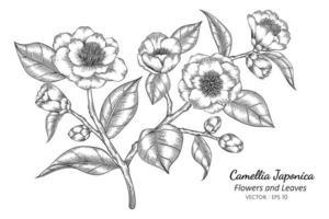 flor camélia japonica desenhada à mão