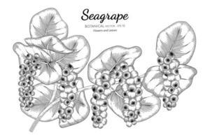 arte de linha de ramos de seagrape desenhada à mão vetor