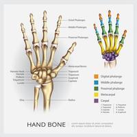 ilustração vetorial educacional de osso de mão