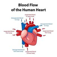 cartaz de informações do diagrama do coração humano vetor