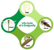 diagrama mostrando o ciclo de vida da libélula vetor