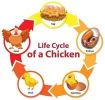 diagrama mostrando o ciclo de vida de frango vetor