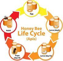 diagrama mostrando o ciclo de vida da abelha vetor