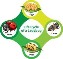 diagrama do ciclo de vida de uma joaninha vetor