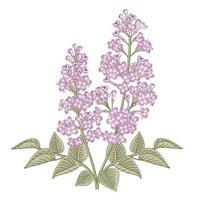 Syringa vulgaris branca e roxa ou ilustrações botânicas de mão de flor lilás comum.