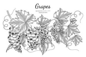 uvas frutas desenhadas à mão ilustração botânica com arte em fundo branco