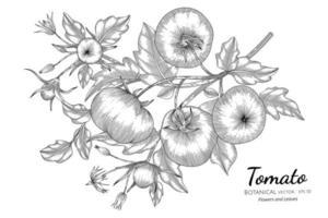 tomate desenhado à mão ilustração botânica com arte em fundo branco