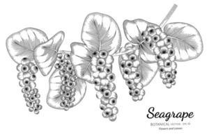 seagrape fruit desenhado à mão ilustração botânica com arte de linha no fundo branco