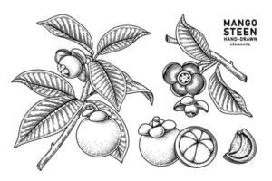 conjunto de elementos de mão desenhada de fruta mangostão vetor