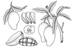 conjunto de ilustração botânica de elementos desenhados à mão de fruta de manga vetor