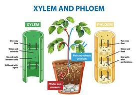 diagrama mostrando xilema e floema de planta vetor