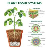 diagrama mostrando sistemas de tecido vegetal vetor