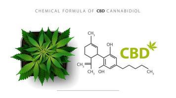 pôster branco com fórmula química de cbd canabidiol e planta cannabis cresce em um pote quadrado, vista superior.