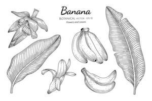 banana frutas e folhas desenhadas à mão ilustração botânica com arte em fundo branco.