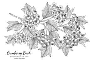 frutas de arbusto de cranberry americano mão desenhada ilustração botânica com arte de linha em fundo branco. vetor