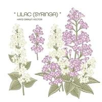 Syringa vulgaris branca e roxa ou ilustrações botânicas de flor lilás comum desenhadas à mão vetor