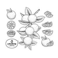 desenho vetorial laranja fruta desenhada à mão conjunto botânico decorativo