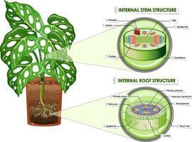 diagrama mostrando a estrutura do caule e da raiz vetor