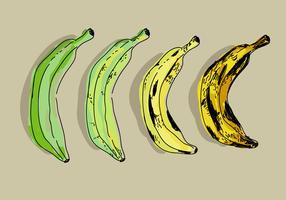 Plantain Color Transformation Hand Drawn Ilustração Do Vetor