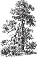 ilustrações vintage em carvalho vetor