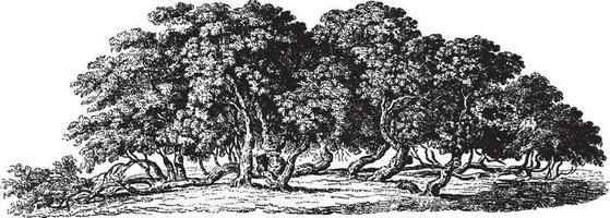 ilustrações vintage de amoreira vetor