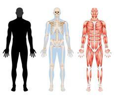 esqueleto do corpo humano e ilustrações vetoriais do sistema muscular. vetor
