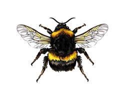 abelha de um toque de aquarela, desenho colorido, realista. ilustração vetorial de tintas