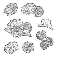 composição do feto kiwano. ilustração vetorial desenhada à mão. vetor