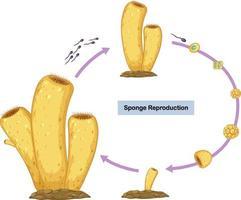 diagrama de reprodução sexuada de esponjas vetor