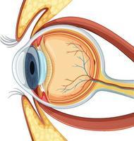 diagrama da anatomia do globo ocular humano vetor