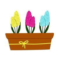 conjunto de jacinto amarelo, azul e roxo-rosa em uma panela, lindas flores da primavera em uma panela marrom, um presente para o dia da mulher, ilustração vetorial em estilo cartoon, plana, sorteio de mão.