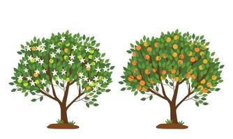 árvore de tangerina em flor e com frutos maduros isolados no branco vetor