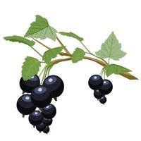 groselha preta é uma fonte de vitamina c vetor