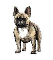 mão desenho de um lindo cachorro bulldog francês em fundo branco. ilustração vetorial vetor