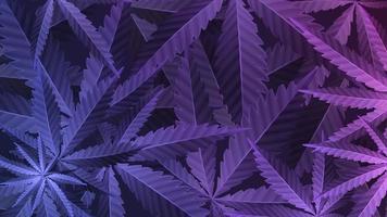 folhas roxas de planta de cannabis, papel de parede com planta de maconha, vista superior. vetor