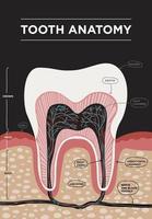 dente anatomia vetor infográficos odontológicos. banner médico ou ilustração de pôster com estrutura dentária