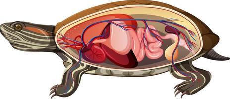anatomia interna de uma tartaruga isolada no fundo branco vetor