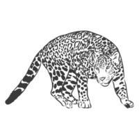 jaguar. mão desenhada esboço ilustração isolada no fundo branco. animal jaguar, ilustração de desenho vetorial vetor