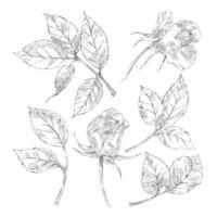 coleção de esboços de rosas vetor