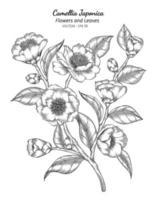 camélia japonica flor e folha desenho ilustração com arte em fundo branco. vetor