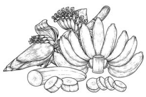 conjunto de banana fruta e esboço desenhado à mão de flor de bananeira vetor