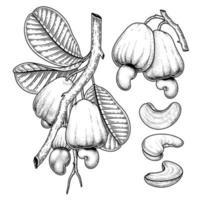 conjunto de elementos de mão desenhada de caju ilustração botânica vetor