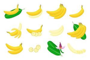 conjunto de ilustrações com frutas exóticas de banana, flores e folhas isoladas em um fundo branco. vetor