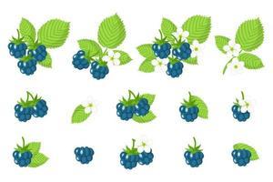 conjunto de ilustrações com frutas exóticas de amora europeia, flores e folhas isoladas em um fundo branco. vetor
