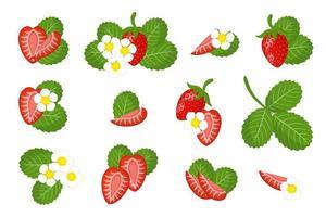 conjunto de ilustrações com frutas exóticas de morango silvestre, flores e folhas isoladas em um fundo branco. vetor