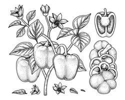 conjunto de ilustração botânica de elementos desenhados à mão de pimentão vetor