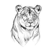 desenho vetorial de um rosto de leoa. vetor