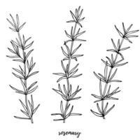 vetor definido com alecrim. conjunto editável para design de embalagem com ramos de alecrim.