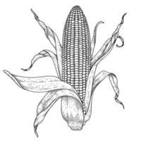 ilustração desenhada à mão de milho vetor